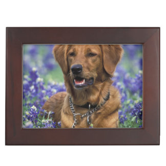 North America, USA, Texas. Golden Retriever in Keepsake Boxes