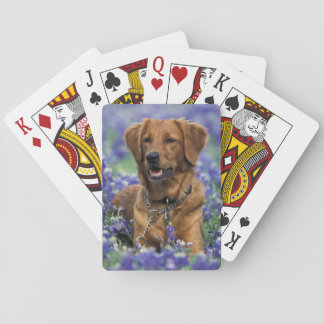 North America, USA, Texas. Golden Retriever in Playing Cards