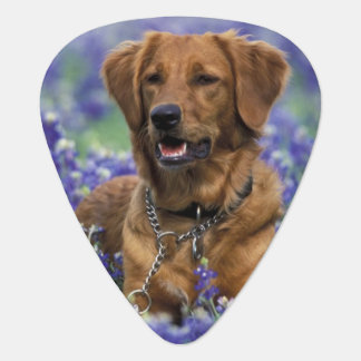 North America, USA, Texas. Golden Retriever in Plectrum