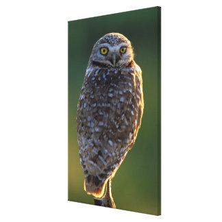 North America; USA; Washington, Burrowing Owl Canvas Print