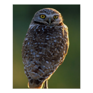 North America; USA; Washington, Burrowing Owl Poster
