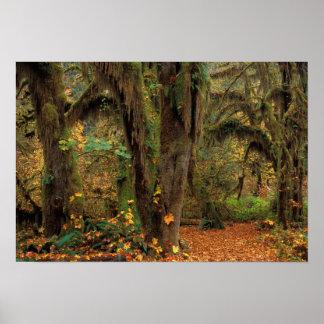 North America; USA; Washington, Moss-Covered Poster