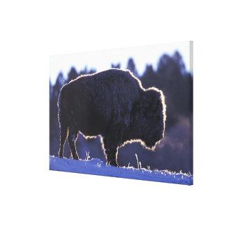 North America, Wyoming, Yellowstone National Canvas Prints