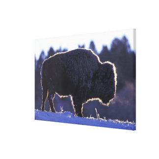 North America, Wyoming, Yellowstone National Gallery Wrap Canvas
