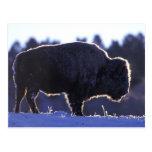 North America, Wyoming, Yellowstone National Postcard