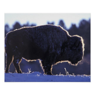 North America, Wyoming, Yellowstone National Poster