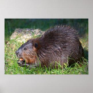 North American Beaver eating vegetable Poster