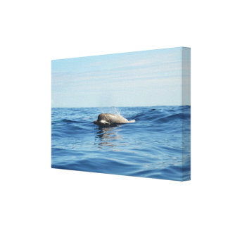 North Atlantic Bottlenose Whale Gallery Wrapped Canvas