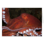 North Pacific Octopus Cards