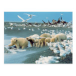 North Slope, Alaska. Polar Bears Ursus