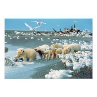 North Slope, Alaska. Polar Bears Ursus Photograph