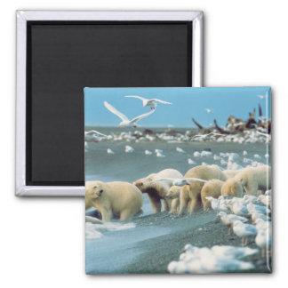 North Slope, Alaska. Polar Bears Ursus Square Magnet
