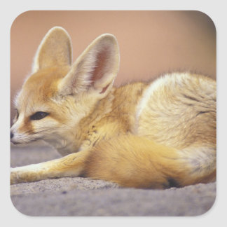 Northern Africa. Fennec Fennecus zerda) Square Sticker