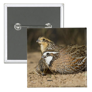 Northern Bobwhite quail babies at pond for drink 15 Cm Square Badge