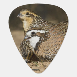 Northern Bobwhite quail babies at pond for drink Guitar Pick