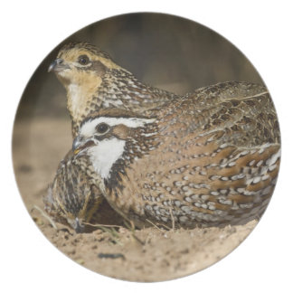 Northern Bobwhite quail babies at pond for drink Plate