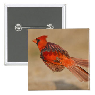 Northern Cardinal adult male in flight 15 Cm Square Badge