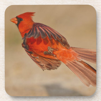 Northern Cardinal adult male in flight Drink Coasters