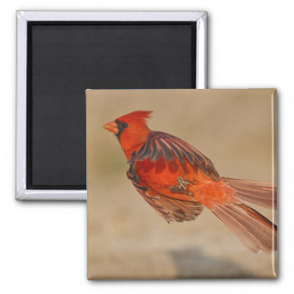 Northern Cardinal adult male in flight Magnet