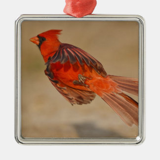 Northern Cardinal adult male in flight Silver-Colored Square Decoration