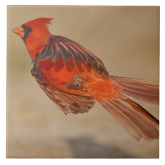 Northern Cardinal adult male in flight Tile