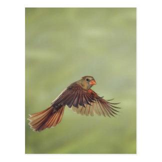 Northern Cardinal, Cardinalis cardinalis, female Postcard
