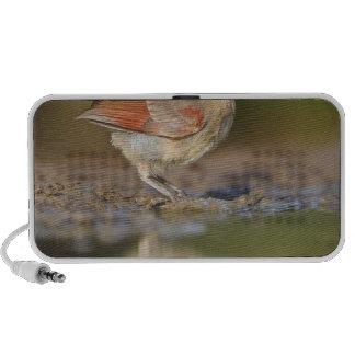 Northern Cardinal Cardinalis cardinalis) iPhone Speaker