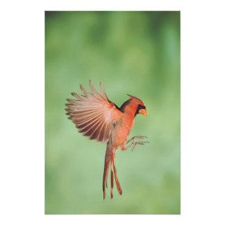 Northern Cardinal, Cardinalis cardinalis, male 2 Photographic Print