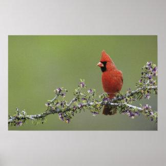 Northern Cardinal, Cardinalis cardinalis,male 2 Poster