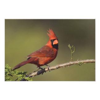 Northern Cardinal, Cardinalis cardinalis, male 3 Photograph