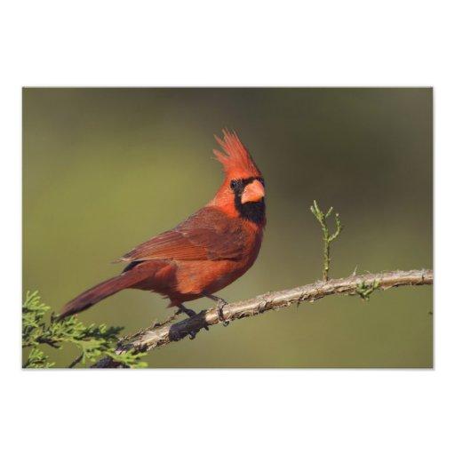 Northern Cardinal, Cardinalis cardinalis, male 3 Photo Print