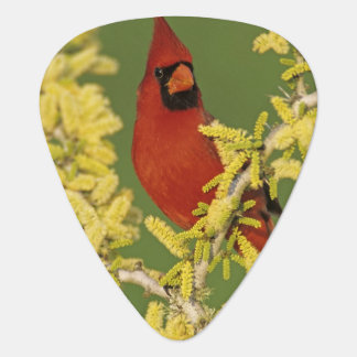Northern Cardinal, Cardinalis cardinalis,male Guitar Pick
