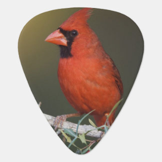 Northern Cardinal, Cardinalis cardinalis, male Plectrum
