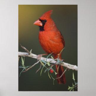 Northern Cardinal, Cardinalis cardinalis, male Posters
