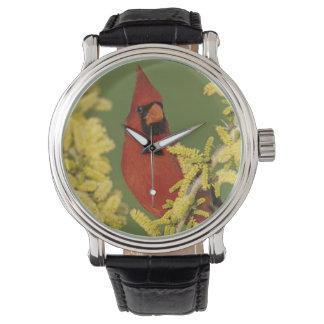 Northern Cardinal, Cardinalis cardinalis,male Watch