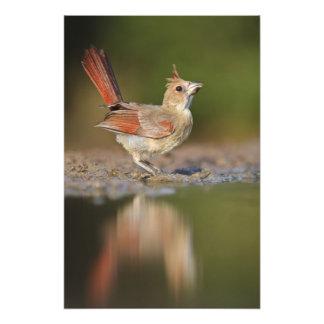 Northern Cardinal Cardinalis cardinalis) Art Photo