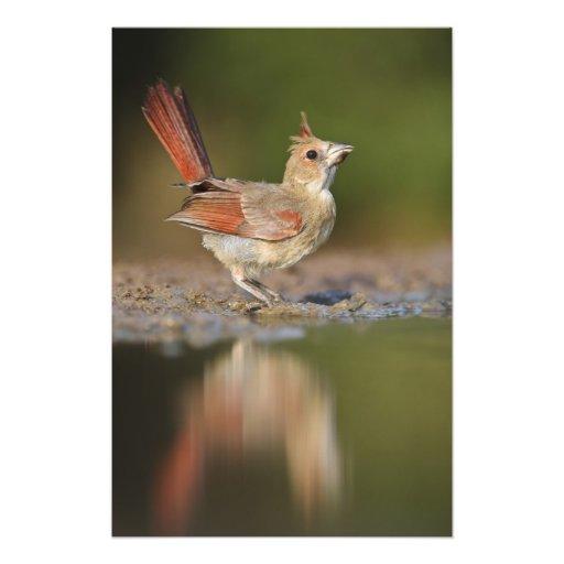 Northern Cardinal Cardinalis cardinalis) Photo