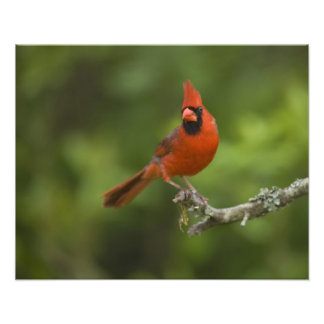Northern Cardinal, Cardinalis cardinalis, Photo Print