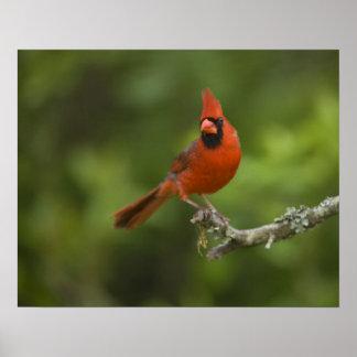 Northern Cardinal, Cardinalis cardinalis, Poster