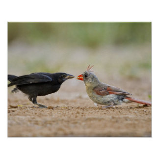 Northern Cardinal feeding baby cowbird Posters