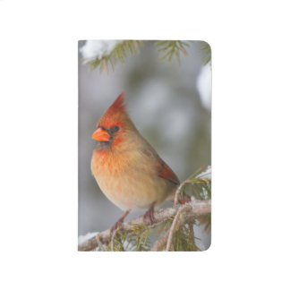 Northern Cardinal female in spruce tree in winter Journal