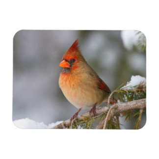 Northern Cardinal female in spruce tree in winter Magnet