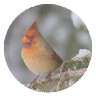 Northern Cardinal female in spruce tree in winter Plate