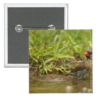 Northern Cardinal in backyard pond, 15 Cm Square Badge