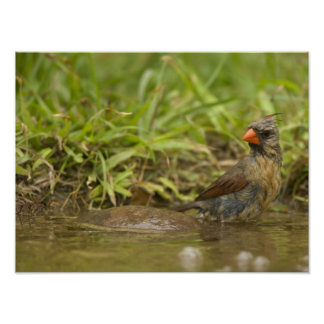 Northern Cardinal in backyard pond, Print