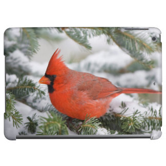 Northern Cardinal in Balsam fir tree in winter