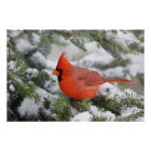 Northern Cardinal in Balsam fir tree in winter Poster