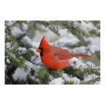 Northern Cardinal in Balsam fir tree in winter Poster