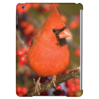 Northern Cardinal in Common Winterberry