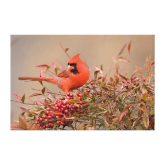 Northern Cardinal in Nandina Heavenly Bamboo Canvas Print